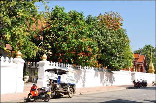 Luang Prabang, mùa hoa vô ưu nở - 2