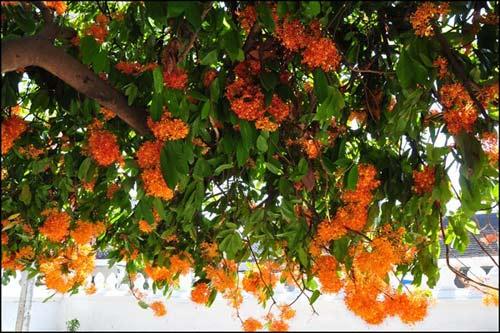 Luang Prabang, mùa hoa vô ưu nở - 3