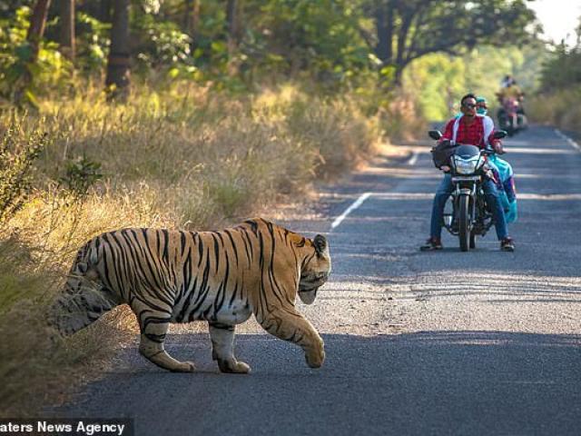 Hổ 250 kg qua đường và phản ứng không ngờ của người đi xe máy