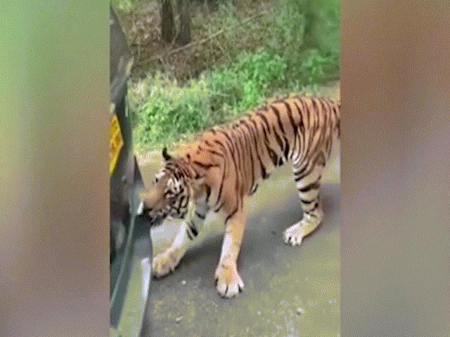 Video: Hổ cố