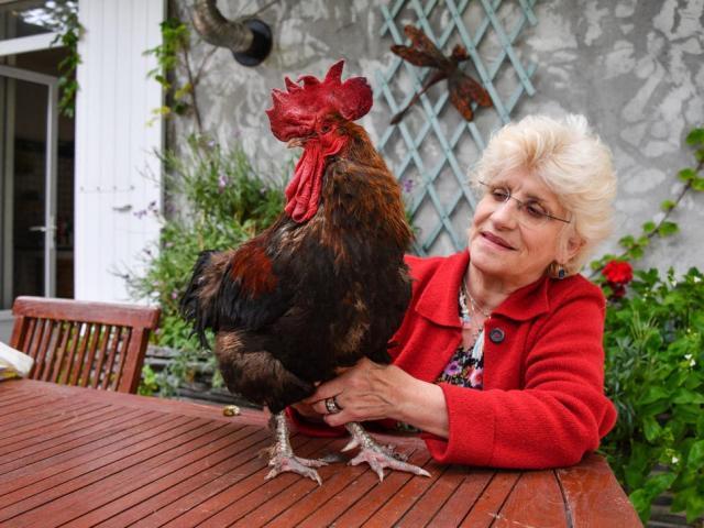 Pháp ban hành luật cho gà có quyền gáy, bò được kêu