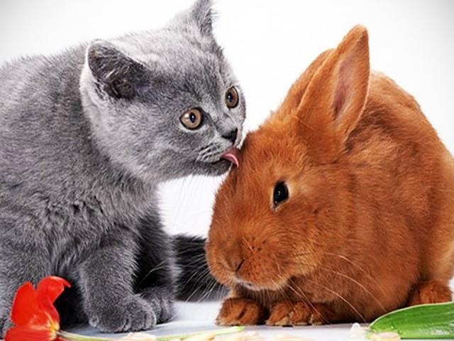 Vì sao năm Mão của Việt Nam là mèo còn Trung Quốc lại là thỏ?