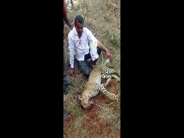 Ấn Độ: Người đàn ông tay không giết chết báo hoa mai để bảo vệ gia đình