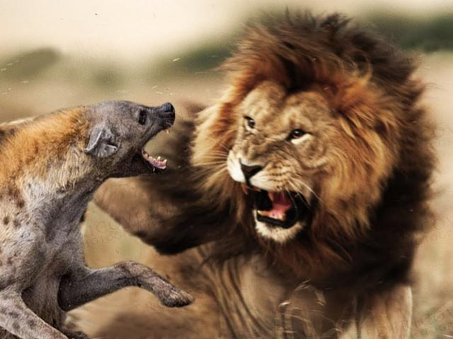 """Sư tử """"gọi hội dạy dỗ"""" linh cẩu vì đồng loại bị đánh hội đồng"""