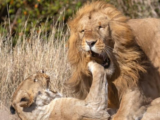 """Tranh mồi """"bậc tiền bối"""", cặp đôi sư tử đực gặp kết cục ê chề"""