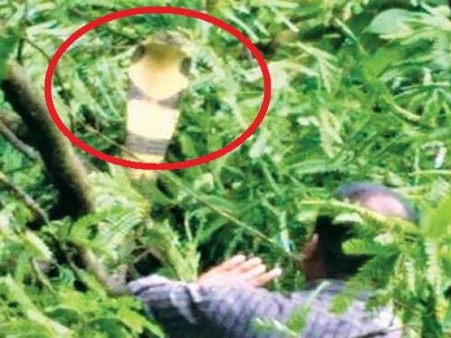 """Ấn Độ: Căng thẳng màn bắt hổ mang chúa """"khủng"""" gần 10 kg trốn trên cây"""