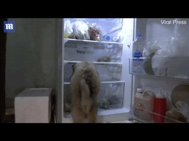 Video: Khoảnh khắc chú chó mở tủ lạnh chui vào nằm tránh nóng