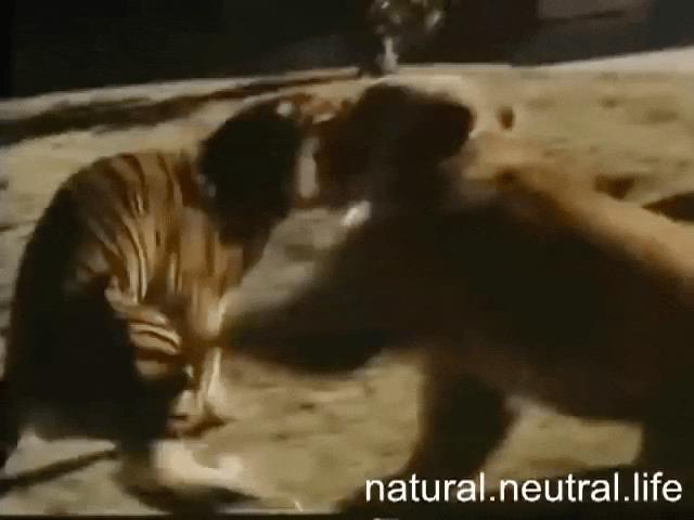 """Hổ Siberia so kè gấu xám Bắc Mỹ: """"Chúa tể"""" nào mạnh hơn?"""