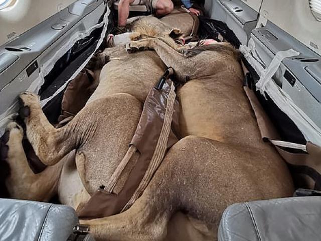 """3 con sư tử đi máy bay, nằm """"ôm nhau"""" ngủ"""