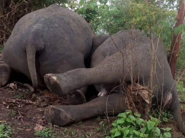 18 con voi chết hàng loạt cạnh nhau vì sét đánh