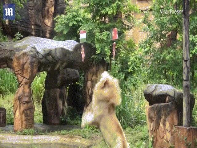 """Sư tử """"tiên tri"""" ở vườn thú Thái Lan dự đoán đúng 4 trận đấu Euro 2020"""