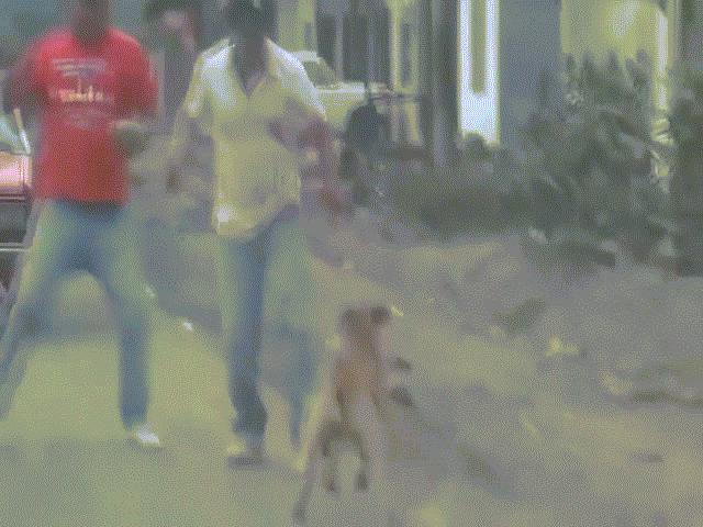 Đấm đá, vụt gậy cũng vô hiệu, làm gì để chó Pitbull khỏi cắn người?