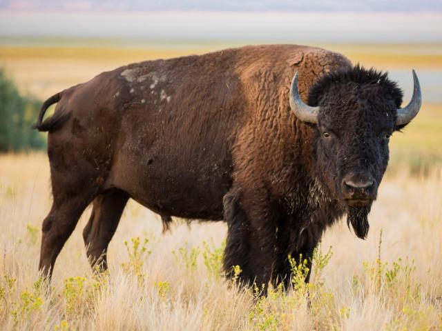 Cố gắng đến gần chụp ảnh bò rừng, nhận kết cục đầy đau đớn