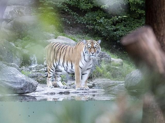 Thụy Sĩ: Nhân viên vườn thú bị hổ Siberia giết chết trước mặt du khách