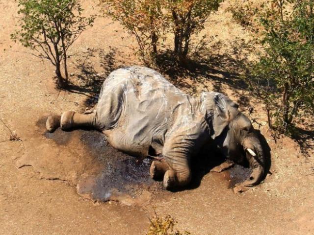 Tìm ra nguyên nhân hàng loạt voi đi vòng tròn quanh hồ nước rồi gục chết