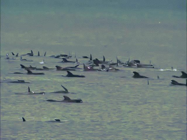 Video: 270 cá voi hoa tiêu cùng mắc cạn ở Úc, chưa từng thấy trong 10 năm