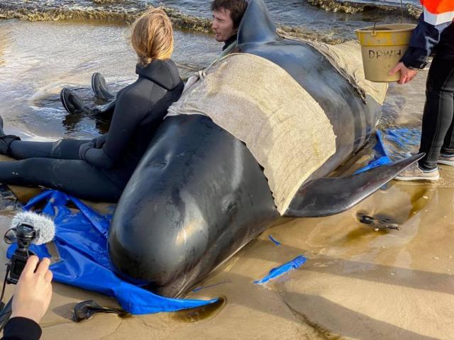Úc: Đang giải cứu 270 con cá voi hoa tiêu mắc cạn, phát hiện thảm cảnh đau lòng khác