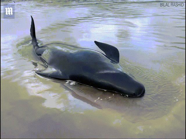 Gần 400 cá voi chết hàng loạt ở Úc: Bắn chết cá voi mắc cạn khóc gọi bạn thảm thiết