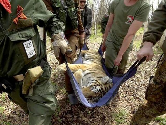 Hổ Siberia được thả về tự nhiên, một năm sau nghe tin sốc gần biên giới TQ