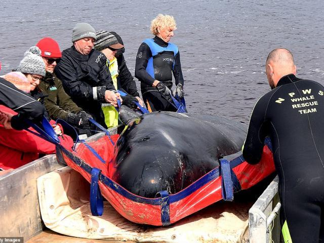 Hàng trăm xác cá voi mắc cạn ở Úc được xử lý như thế nào?