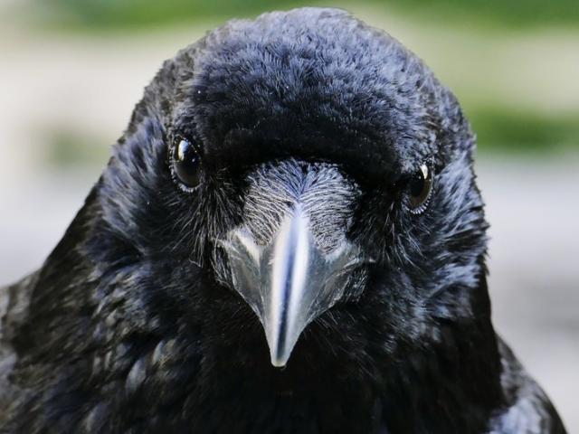 Lần đầu tiên phát hiện loài chim có khả năng suy nghĩ có ý thức