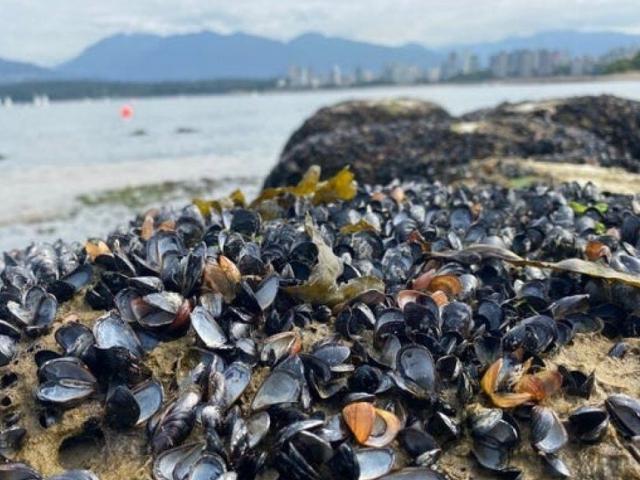 """Canada: Nắng nóng kỷ lục, hàng triệu sinh vật biển bị """"luộc chín"""""""